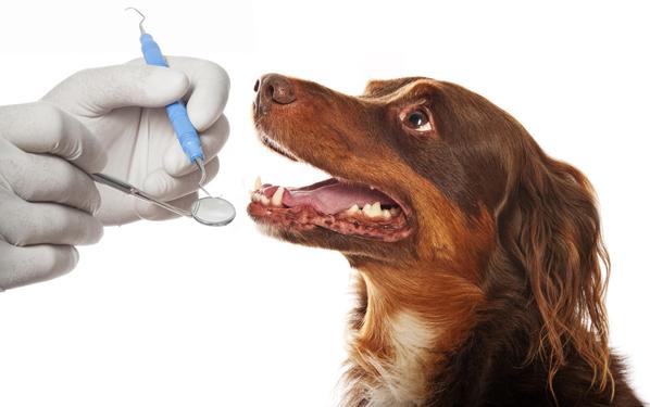 Dog getting teeth examined